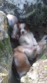 Brittany Spaniel Puppies F Litter