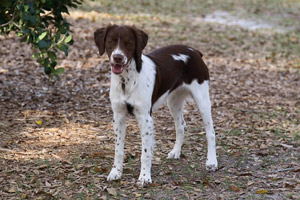 Livvy Champion and Grand Champion Bloodline Brittany Spaniel Puppies for Sale