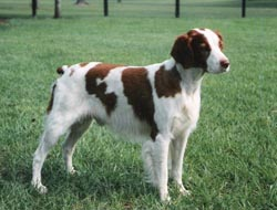 Sticky Champion and Grand Champion Bloodline Brittany Spaniel Puppies for Sale